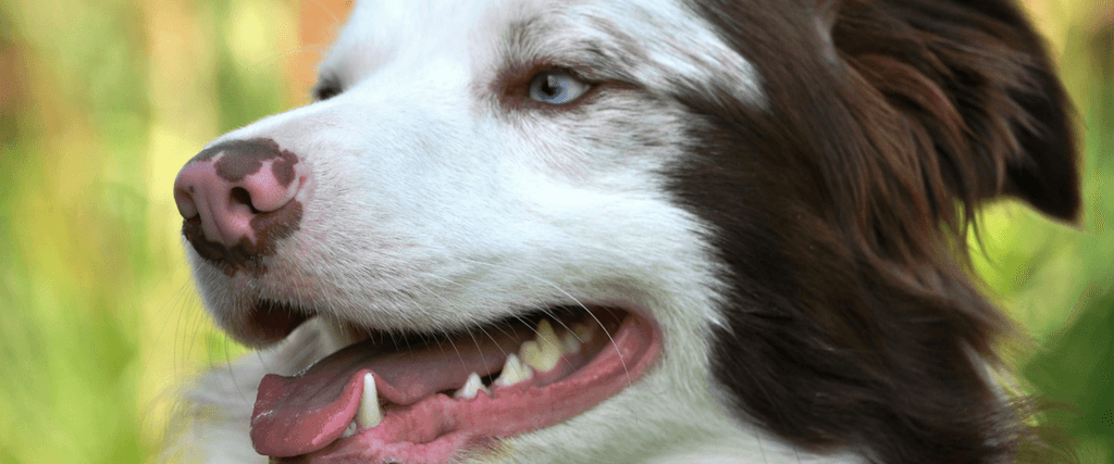 How Often Should Dogs Get Teeth Cleaned