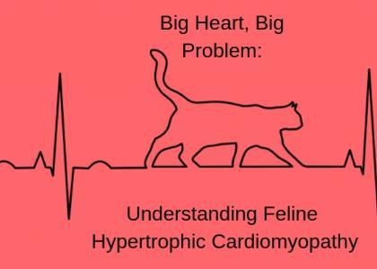 Big Heart, Big Problem: Understanding Feline Hypertrophic Cardiomyopathy